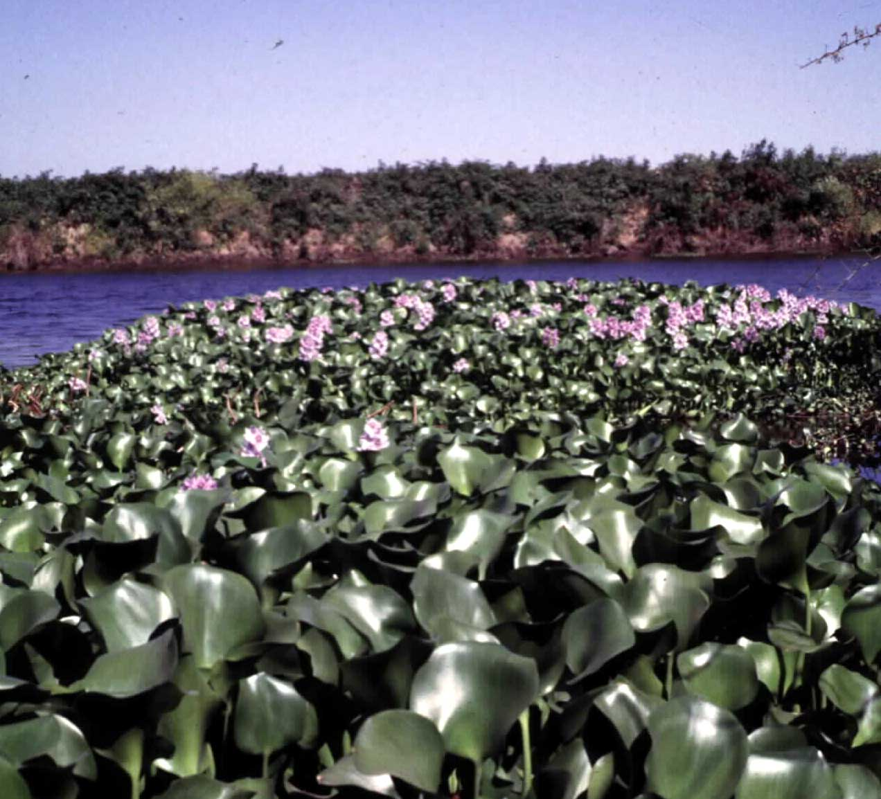 http://wric.ucdavis.edu/information/aquatic/images/water_hyacinth_1.jpg